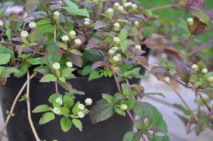 Lippia dulcis - aztécké sladidlo