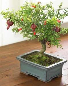 Granátovník jako bonsai