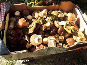 Čerstvě nasbírané houby na přípravu omáčky