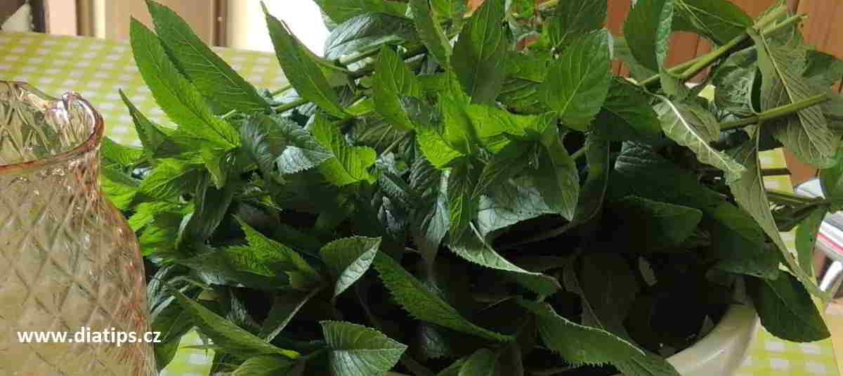 čerstvě nařezané rostliny máty