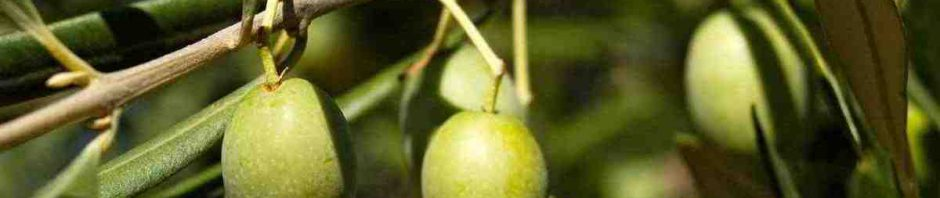 větvička olivovníku s plody
